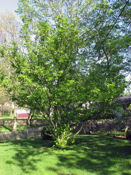 The tree that flowers beautifully each spring is now fully green for the summer.
