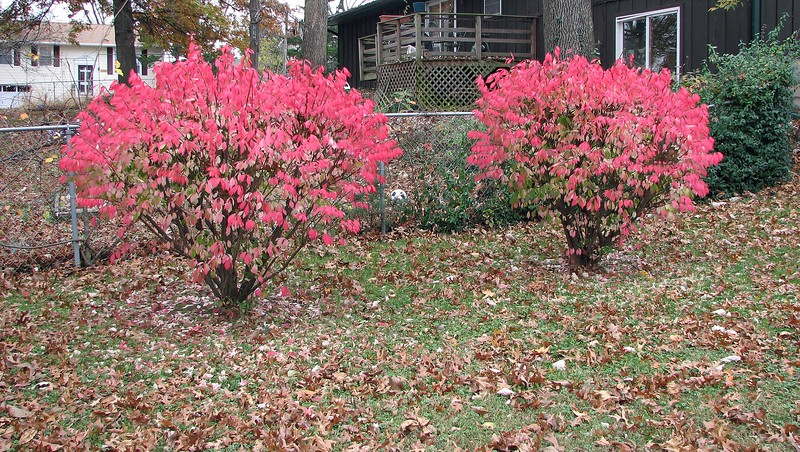 I don't know what these bushes are.  But they look nice in the fall.  I finally managed to get grass to grow around them this year.