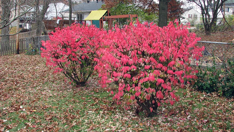 The two bushes in the backyard are turning red for the fall.