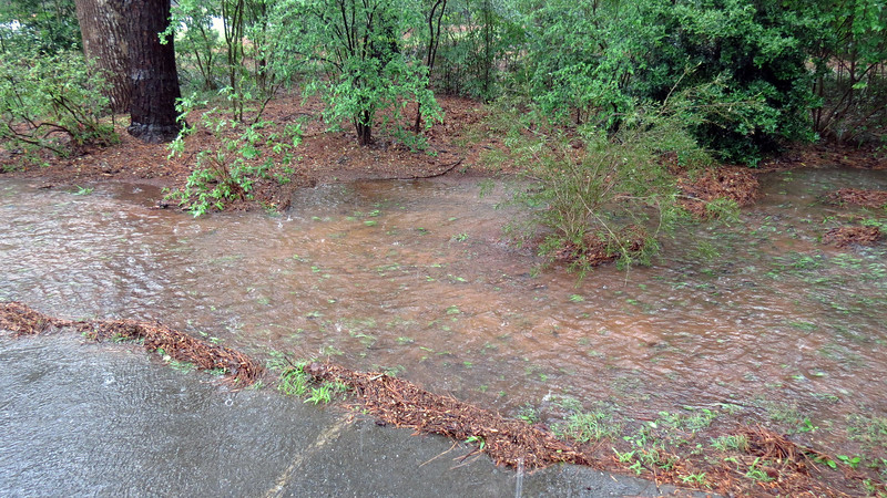 Hopefully, the Bottlebrush and Korean Azalea will benefit from the abnormally large amount of rain.