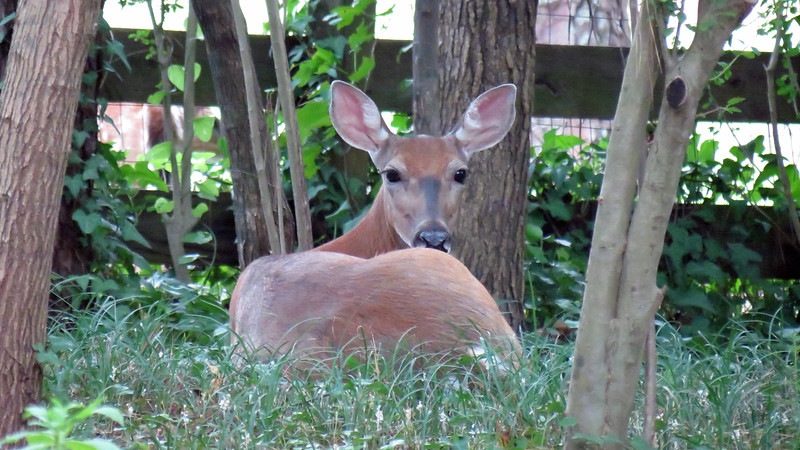 I am always seeing deer in backyard, whether it be passing through or, in the case of this guy, just relaxing.