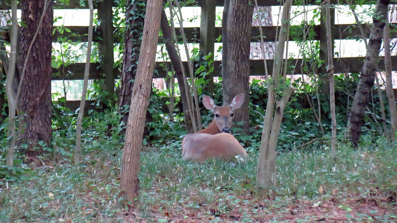 I've mentioned many times just how much the local deer population seems to like my backyard.