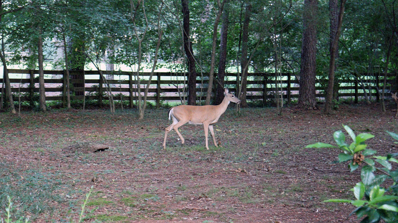 My backyard seems to be a deer expressway.  I have traffic back there quite often, as was the case on this day.
