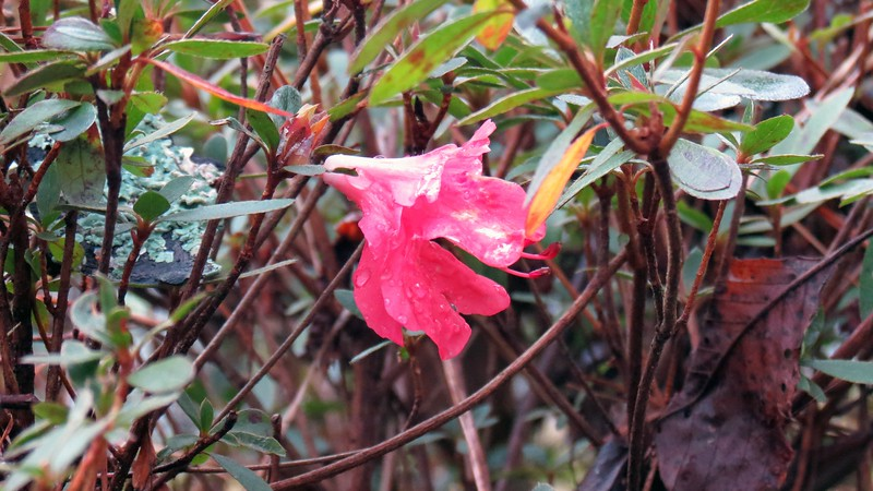 The azaleas along my driveway normally wake up sometime in late March.  One bloom has decided to appear a couple of months early.