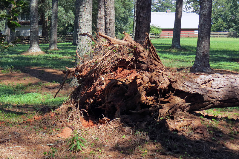 This is the second pine tree in this yard to have fallen over, (the other was in 2015).