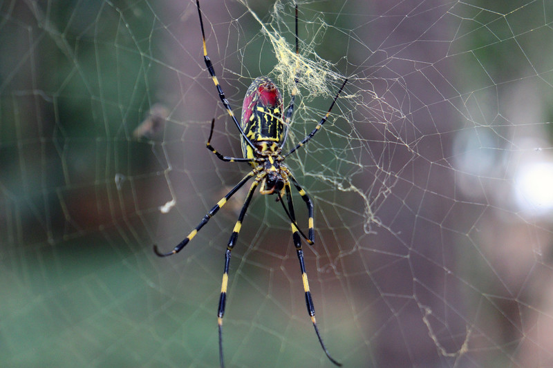 The Joro spider is found in parts of east Asia and is not native to the US.  According to a scientific paper published in 2015, discovery of Joro spiders in nearby Barrow, Jackson, and Madison counties in northeast Georgia in late 2014 were the first confirmations of them in North America.  Since then, they've settled in nicely and made themselves at home in my yard.