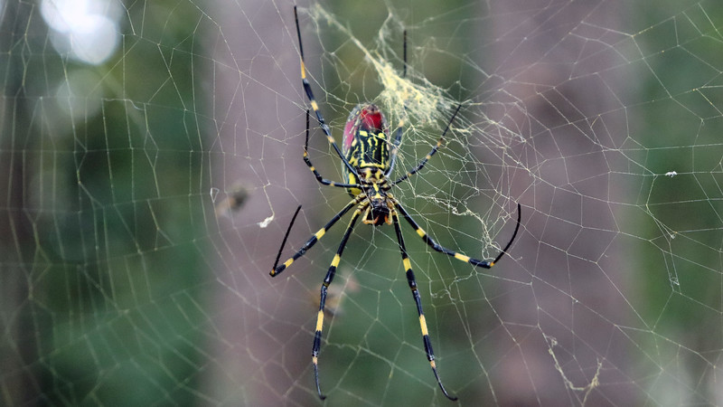 According to my neighborhood website, this is a female Joro spider.