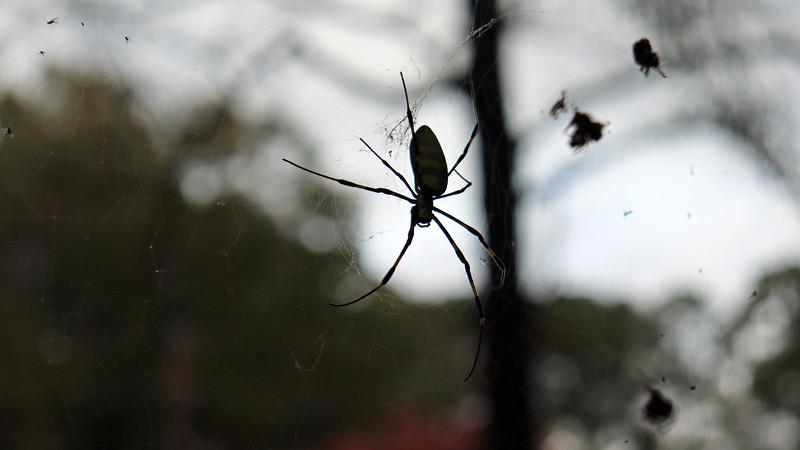 "From Wikipedia:  ""Jorōgumo is a legendary creature in Japanese folklore. A Jorōgumo is a spider that can change its appearance into that of a beautiful woman. She seeks men to seduce, whom she then binds in her silk and devours.""  Sounds like I should probably avoid this side of the yard for a while."