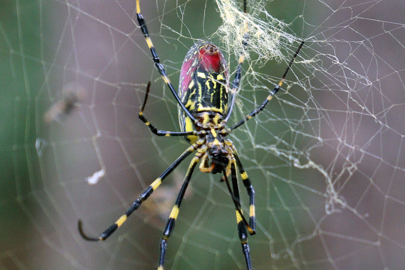 This gal was quite large and looked to be around 2-3 inches in length.  She also spun a very large and impressive web.  From what I read, they do bite, but aren't considered a threat to people.