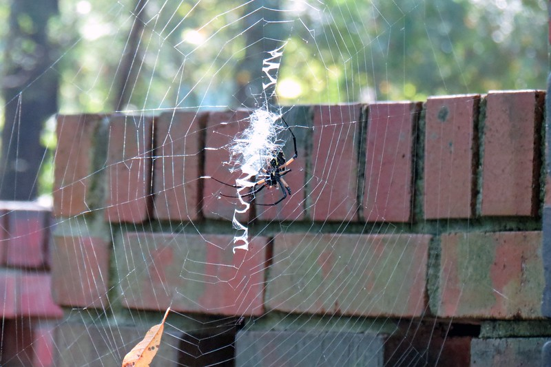 "The name ""Writing Spider"" comes from the elaborate zigzag webs they spin that can sometimes look like writing."