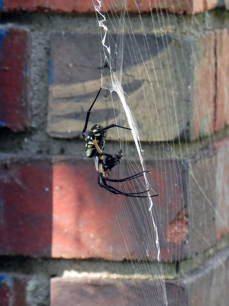 They spin an elaborate web in order to catch prey such as small insects.