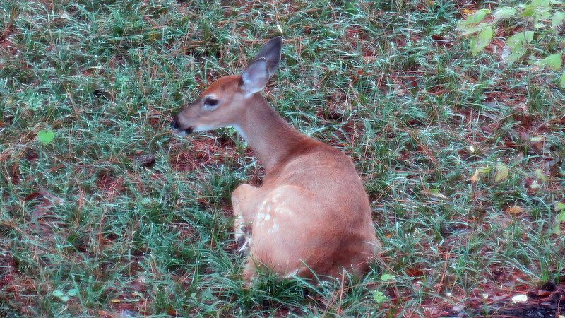 This morning, I found two deer enjoying some R & R.  This guy was laying beside my Dogwood tree.