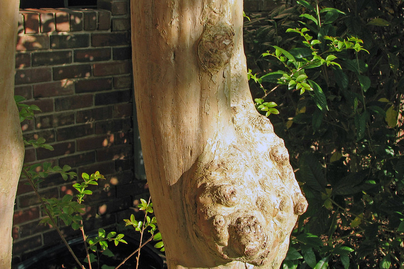 Crape myrtle in the front yard.
