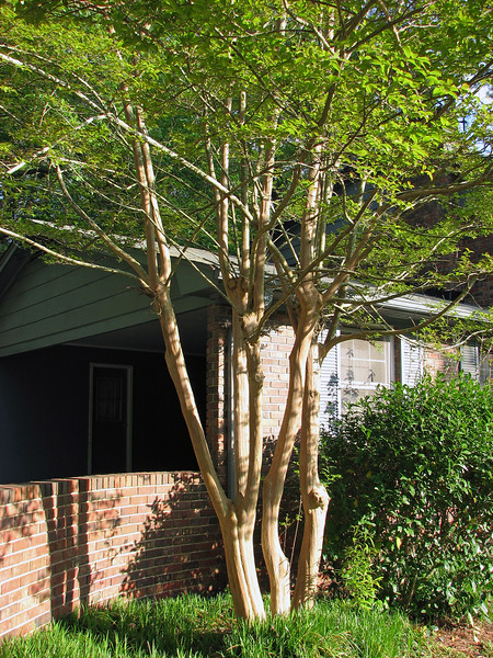 I had no idea what this tree next to the carport was when I first saw it.  The complete lack of any bark was quite unusual to me.