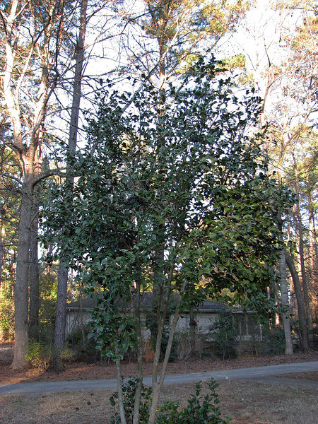 The flowering camellia in the front yard keeps its leaves over the winter, which is nice.