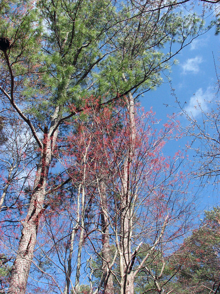 I see a tree that is turning red.  My coworkers have used the term Redbud, which makes sense.