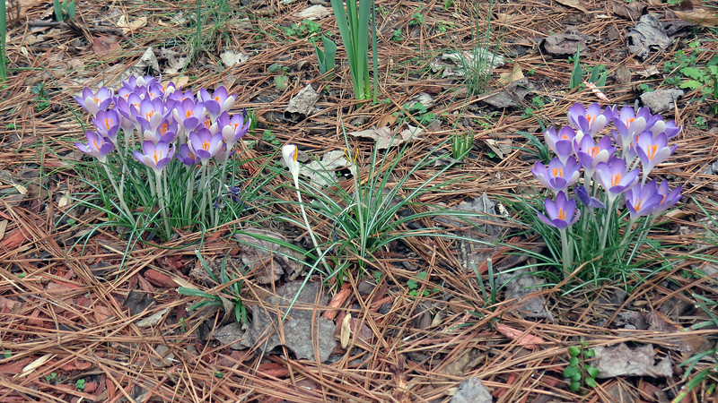 My impression is that crocus flowers don't last very long.  Once they bloom, they only hang around for a short time.  This means I better enjoy them while I can.