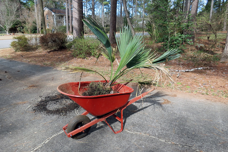 This first round of mowing and mulching usually takes a while.  I was about halfway through the process when I noticed my neighbor's truck pull into my driveway.  She was driving past my house a couple of weeks earlier and stopped to ask me if I wanted another palm tree, specifically, a Windmill Palm tree that had been sitting in a pot in her driveway for a few months.  Seeing that I have two palm trees in my front yard, she asked me if I could find a home for a third.