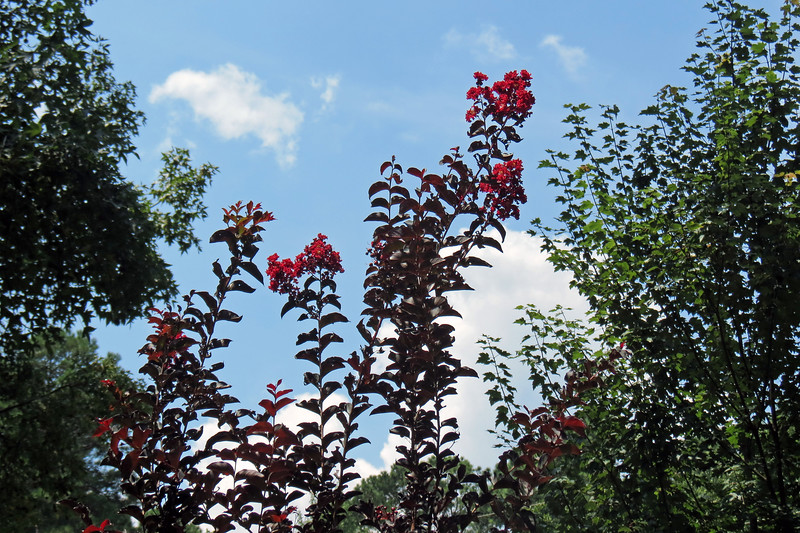 I also have activity on the Crimson Red Crape Myrtle.