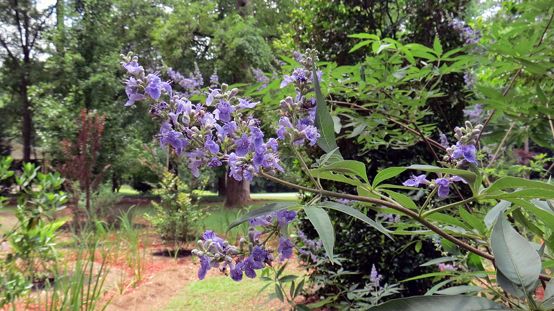 Vitex Shoal Creek blooms.