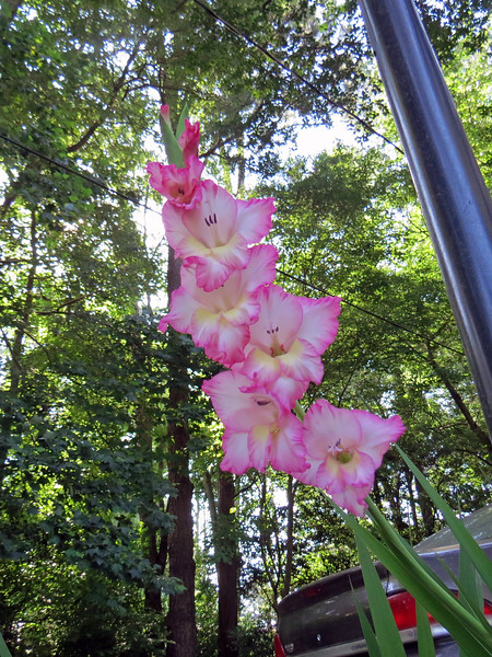 I believe this is some kind of Gladiolus bulb.