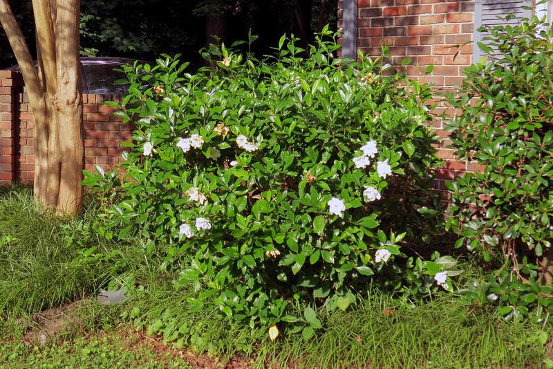 One of the gardenias in the front yard is blooming.  This plant has bloomed quite well ever since I began hacking it back each year.