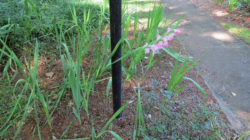 "This ""Mystery Bulb"" now has a possible name - Gladiolus."
