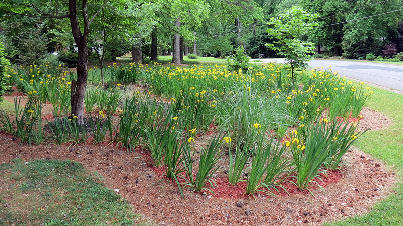 May 3:  This is where the irises reached their peak.