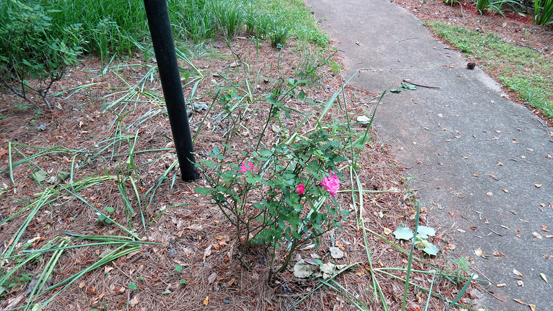 May 3:  Just when I thought the rose bush was slowing down, a few more blooms appeared.