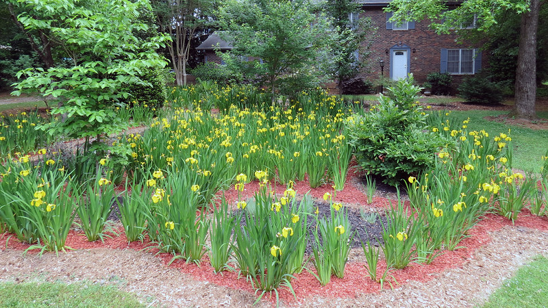 May 3:  Almost every iris bloomed !