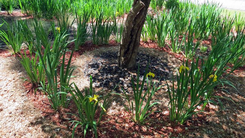 April 21:  Iris blooms around the large dogwood tree.