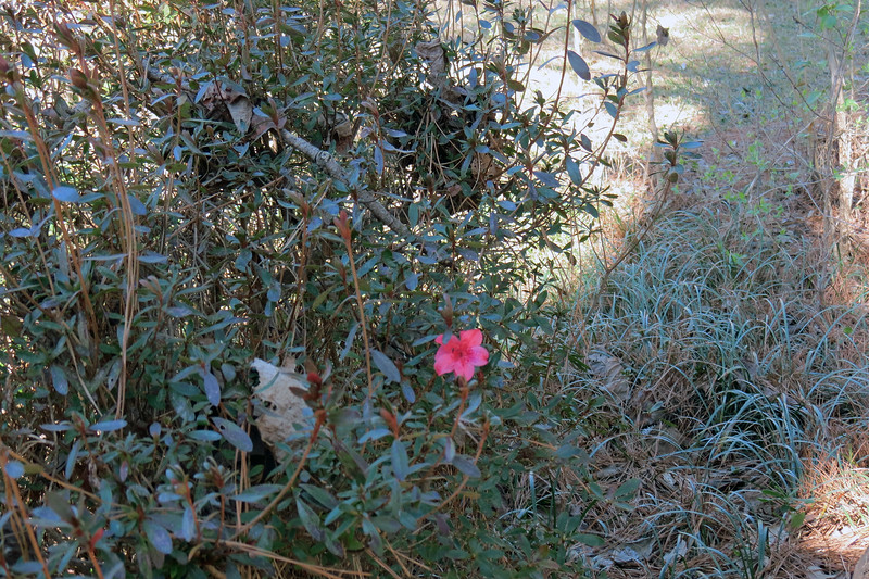 February 13:  This season's awakening process began on a confusing note.  One single flower appeared on the second azalea from the street.  Athens did experience some warmth last week.  Apparently, this was enough to confuse one of the blooms.