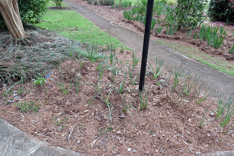 March 16:  I finally took care of a project that had been on the back burner for a while.  For whatever the reason was in April 2015, I moved all of the daffodils scattered about the yard to this corner of the yard by the rose bushes.   But I had to clump them all together in the far right corner of the photo above.  They grew well, but the arrangement never looked right from the beginning.<br /> <br /> Last year, I moved all of the Mystery Bulbs I had planted in this area to the front yard in the location I mentioned earlier near the Husker Red Beardtongues.  Today's project was to spread the daffodils out into the newly vacant and much larger space.  I'll have to wait until next spring to see how this works.