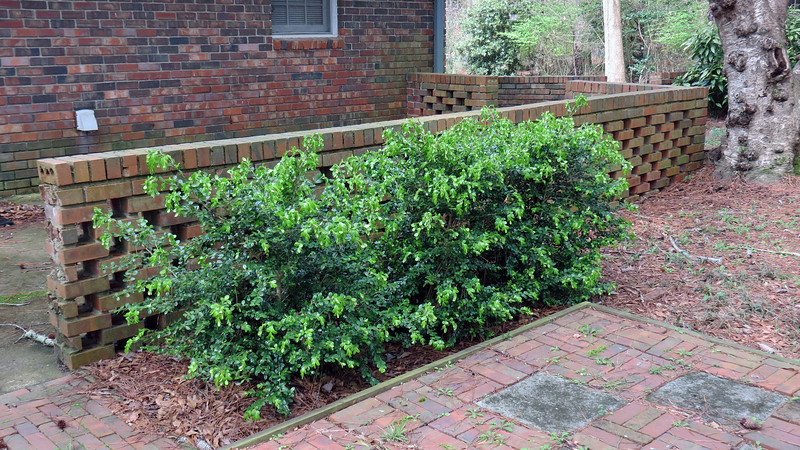 March 2:  I see new growth on the Japanese Boxwood bushes.  They've done well ever since I planted them back in 2012.