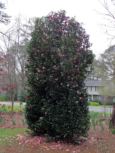 March 16:  The shrub on this side of the tree blooms pink, like the tree.