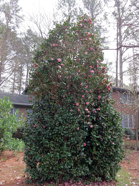 March 2:  The outline of each plant can be seen a little easier in the photo above.  One tall tree in the center is flanked by two shorter shrubs.  The pink blooms at the top of the plant are from the tree.