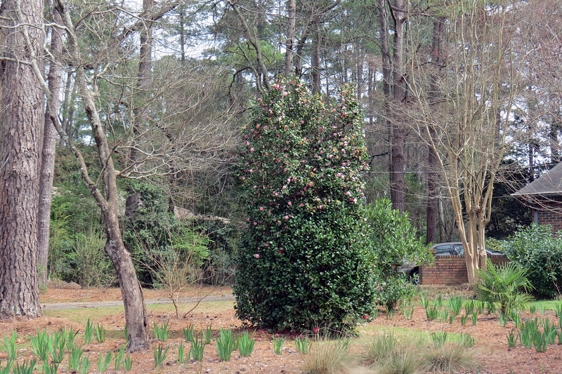 March 11:  The green area at the bottom is one of the shrubs that has grown into the tree.  The dark red blooms of the shrub can be seen in the photo above.
