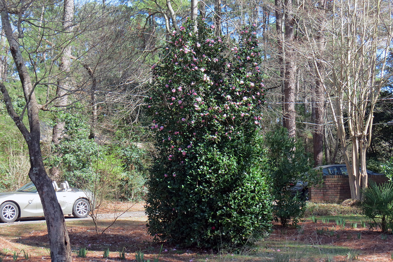 February 24:  The Japanese Camellia is actually three separate plants that have grown together.