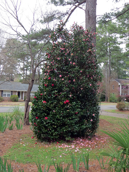 March 16:  A few more dark red camellia blooms appear.
