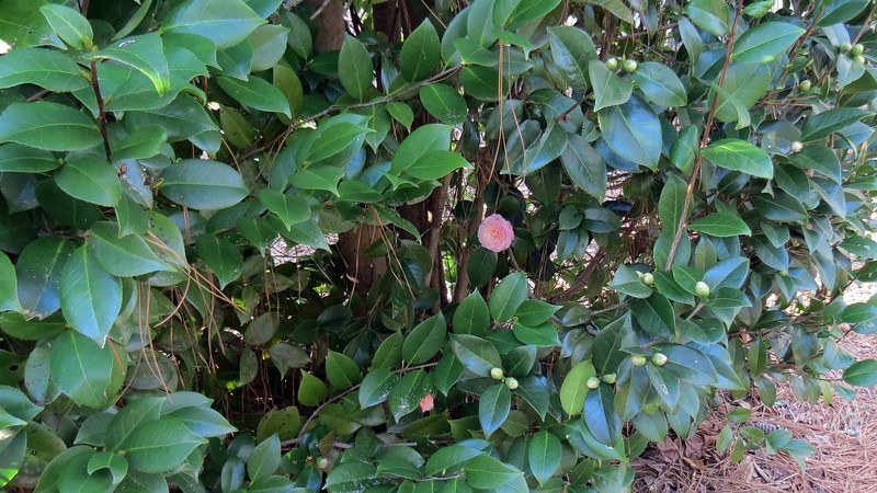 Two of the Camellia plants bloom in pink.