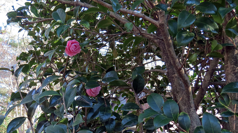 The Japanese Camellia is always the first plant to wake up each year and starts to sport blooms in January.