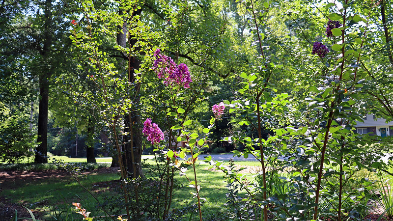 August 17:  Of the three crape myrtles I planted here in May 2015, the Purple Magic seems to bloom the most.