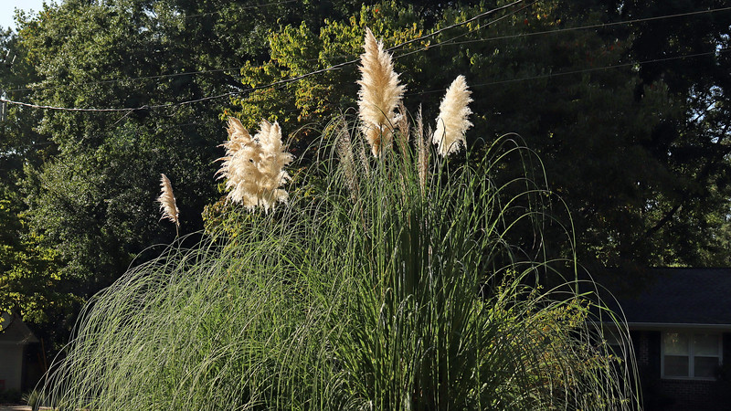 September 21:  My pampas grass looks great !