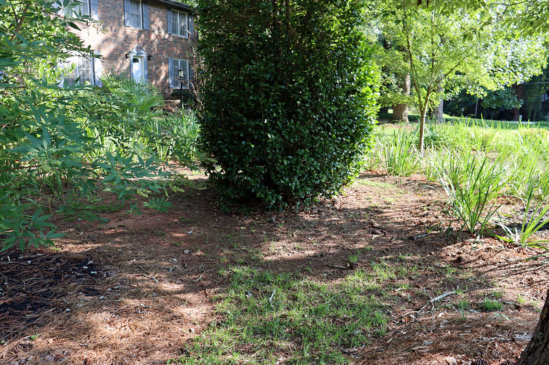 "August 10:  As my large ""Random Curved Shape"" was expanded throughout 2015 and 2016, I left an area of grass around the Japanese Camellia.  At the time, I thought a this could develop into a small walking path."