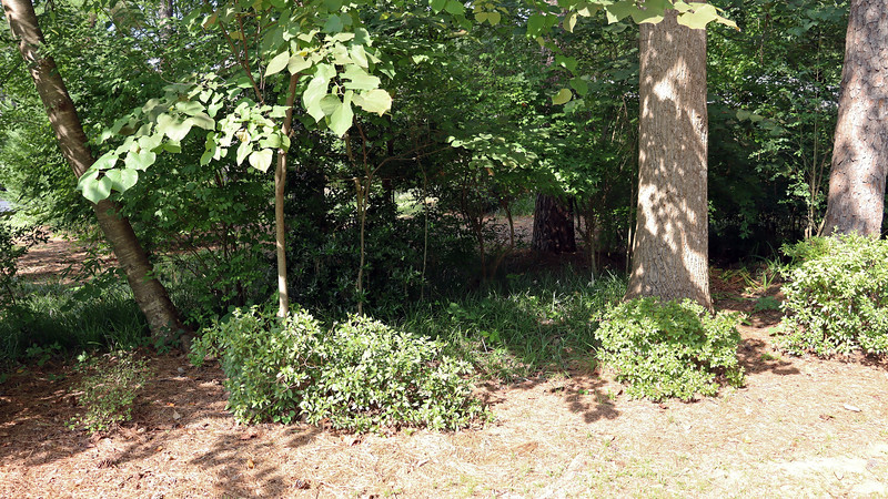 July 27:  I removed a few wild looking plants that sat behind some of the driveway azaleas.  Maybe I can do something in here in the future, (such as plant irises ?).