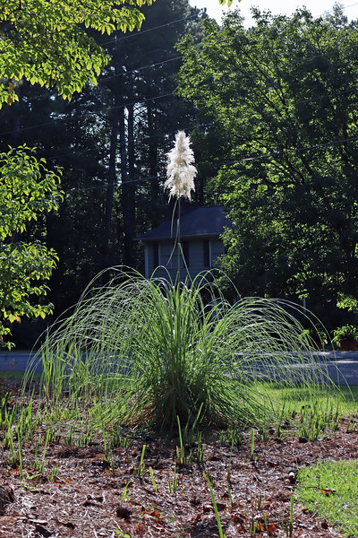 September 21:  I was looking to finish the iris project the next weekend.  But first, I couldn't help but notice how the sun was shining at just the right angle across the pampas grass blooms.