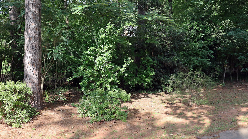 July 27:  I removed a few long overhanging branches from the Korean Azalea and Wilderness Hardy Bottlebrush.