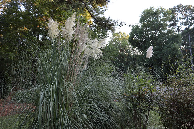 September 7:  The pampas grass plants are blooming.