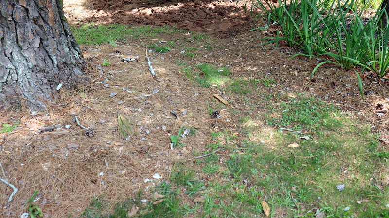 August 11:  I decided to extend this new area around the pine tree.  There is nothing small on this side of the design.  So a lot of tall irises won't be a problem.