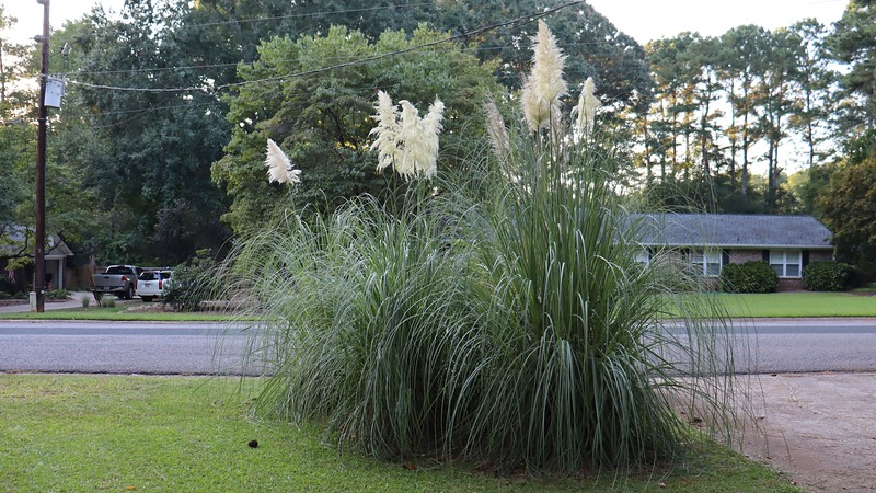 September 7:  My pampas grass looks great !